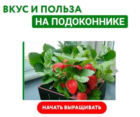 клубника чудо ягодница домашние